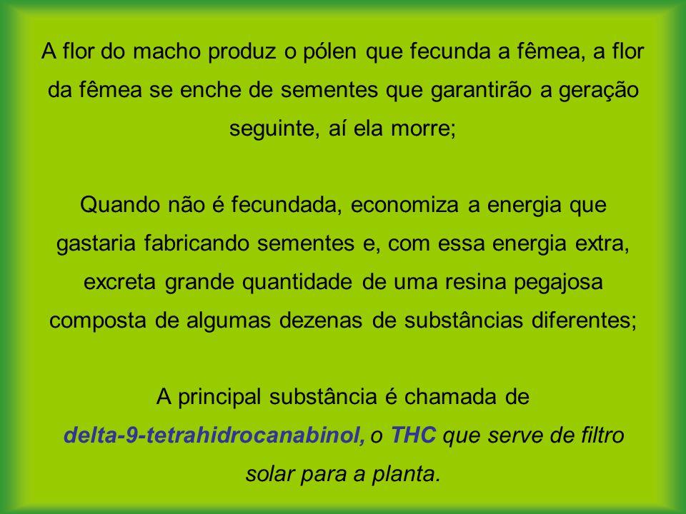 A flor do macho produz o pólen que fecunda a fêmea, a flor da fêmea se enche de sementes que garantirão a geração seguinte, aí ela morre; Quando não é fecundada, economiza a energia que gastaria fabricando sementes e, com essa energia extra, excreta grande quantidade de uma resina pegajosa composta de algumas dezenas de substâncias diferentes; A principal substância é chamada de delta-9-tetrahidrocanabinol, o THC que serve de filtro solar para a planta.