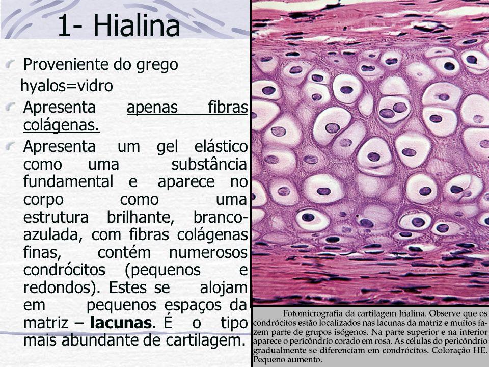 1- Hialina Proveniente do grego hyalos=vidro
