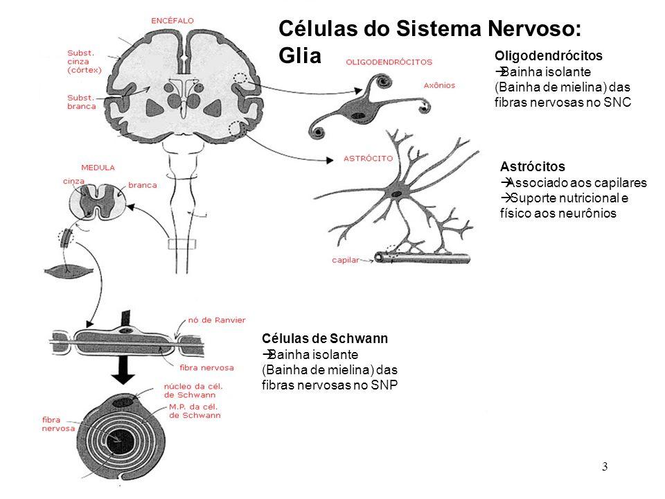 Células do Sistema Nervoso: Glia