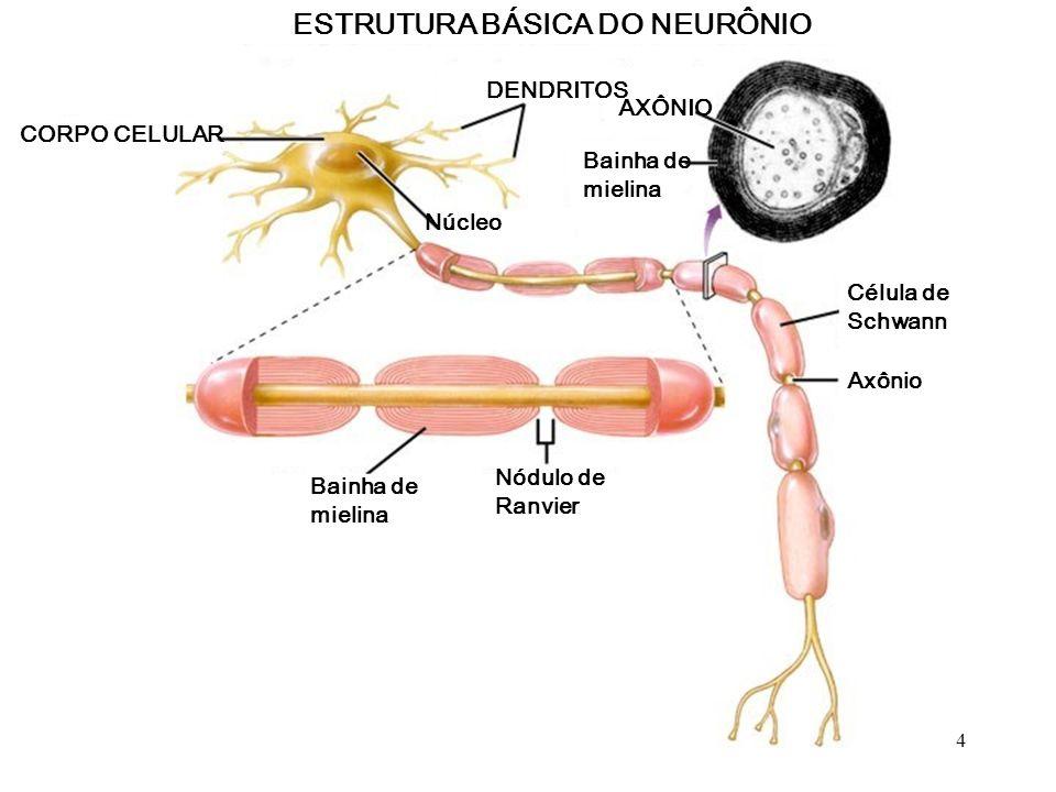 ESTRUTURA BÁSICA DO NEURÔNIO