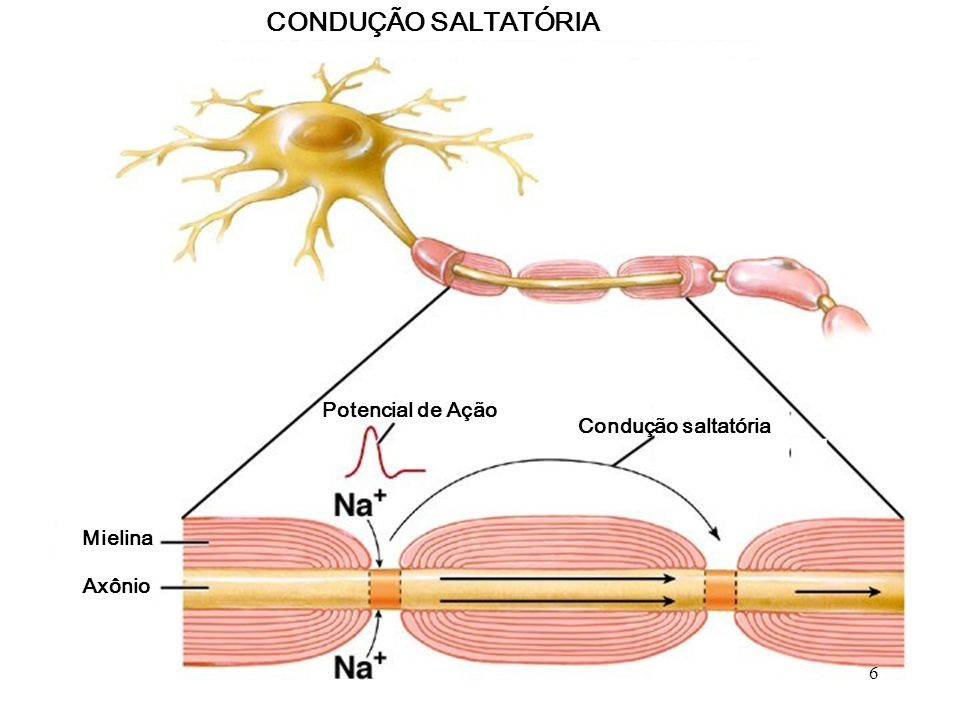 CONDUÇÃO SALTATÓRIA Potencial de Ação Condução saltatória Mielina