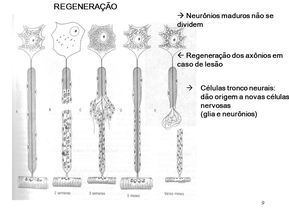 REGENERAÇÃO  Neurônios maduros não se dividem