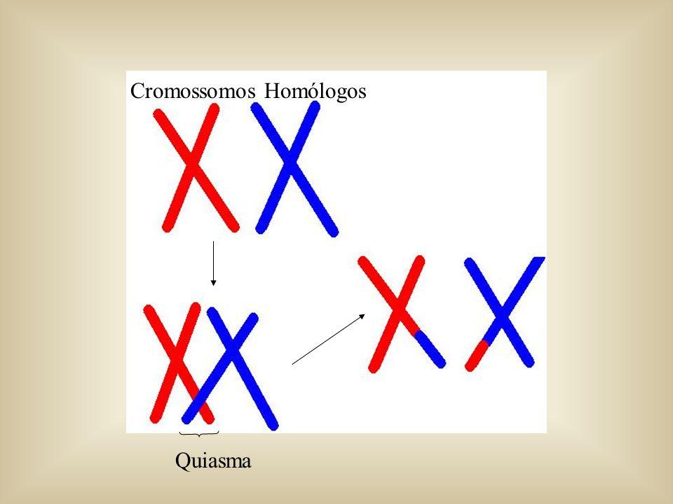 Cromossomos Homólogos