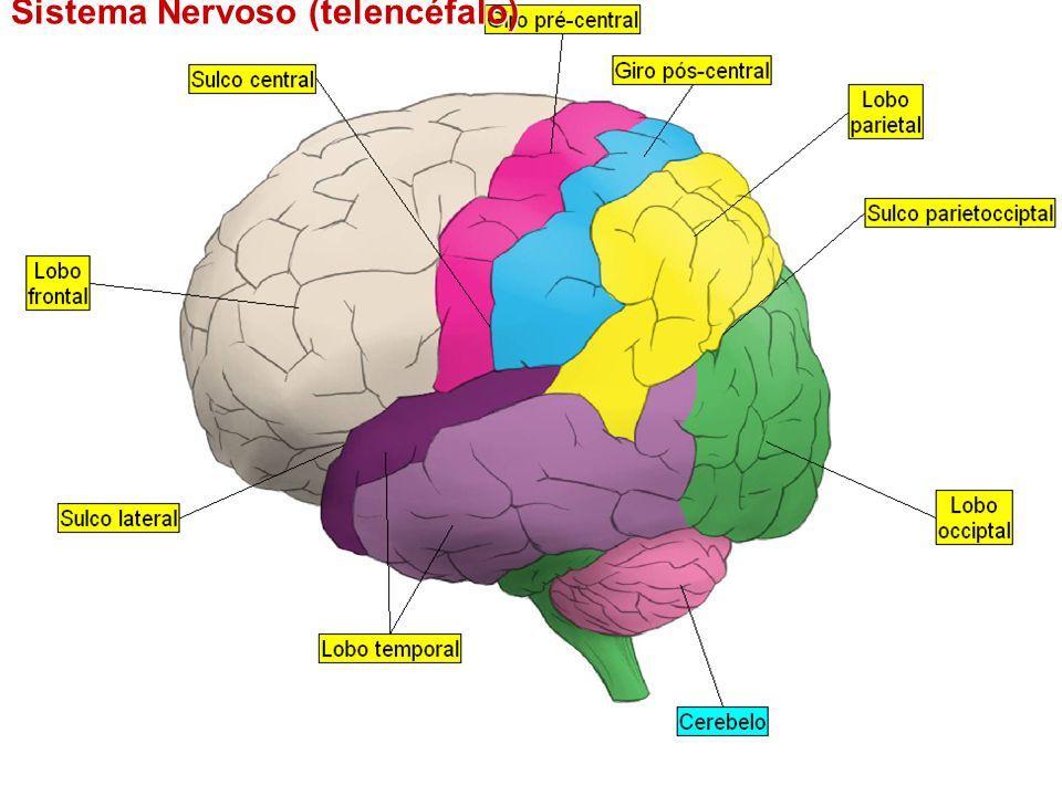 Sistema Nervoso (telencéfalo)