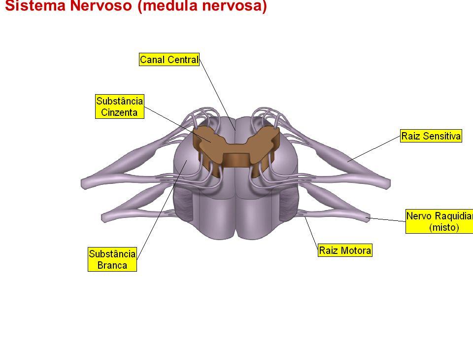 Sistema Nervoso (medula nervosa)