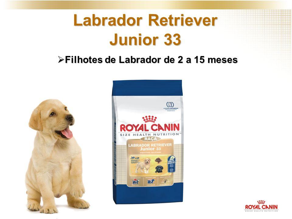 Filhotes de Labrador de 2 a 15 meses