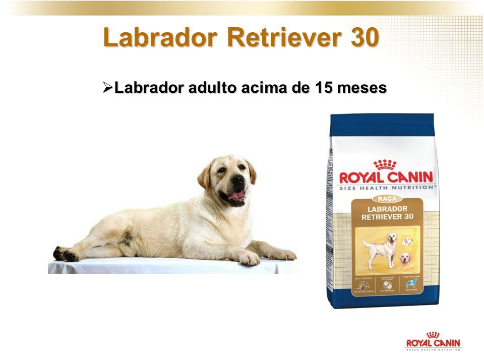 Labrador adulto acima de 15 meses