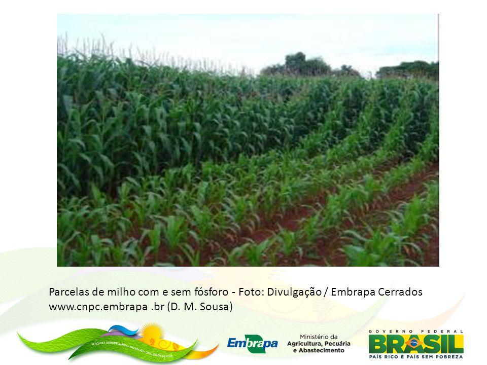 Parcelas de milho com e sem fósforo - Foto: Divulgação / Embrapa Cerrados www.cnpc.embrapa .br (D.