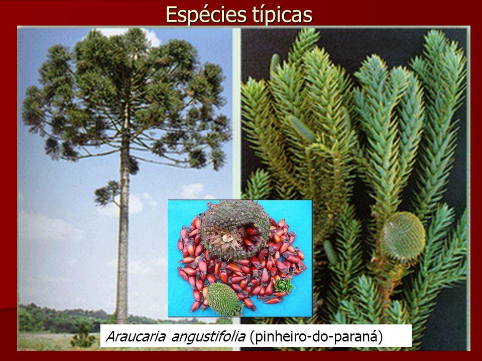 Espécies típicas Araucaria angustifolia (pinheiro-do-paraná)