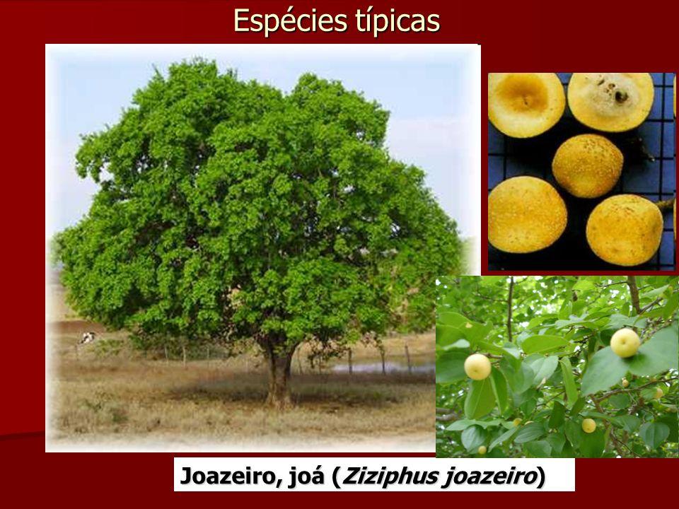 Espécies típicas Joazeiro, joá (Ziziphus joazeiro)