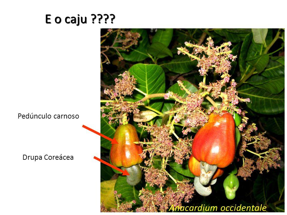 E o caju Pedúnculo carnoso Drupa Coreácea Anacardium occidentale