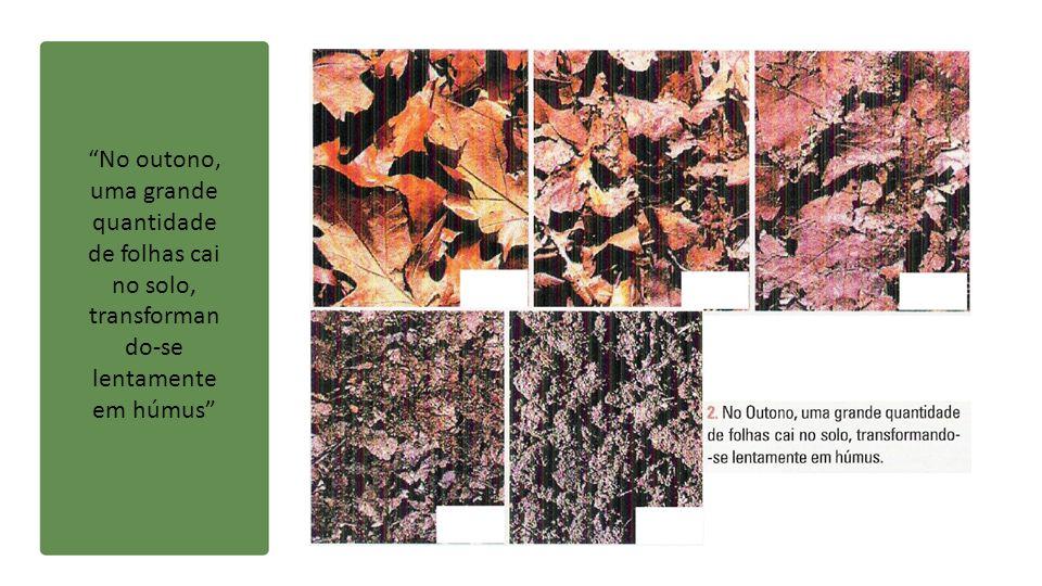 No outono, uma grande quantidade de folhas cai no solo, transformando-se lentamente em húmus