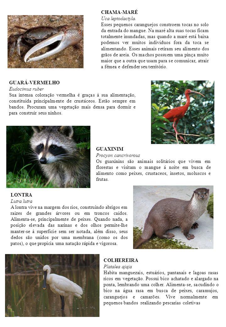CHAMA-MARÉ Uca leptodactyla.