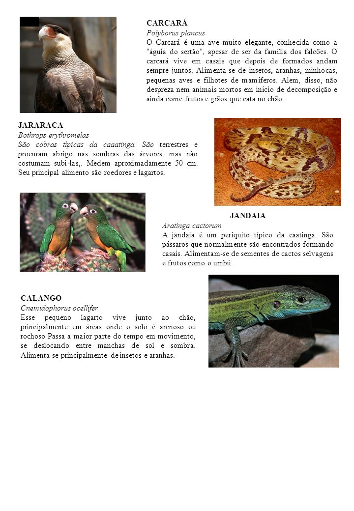 CARCARÁ Polyborus plancus.