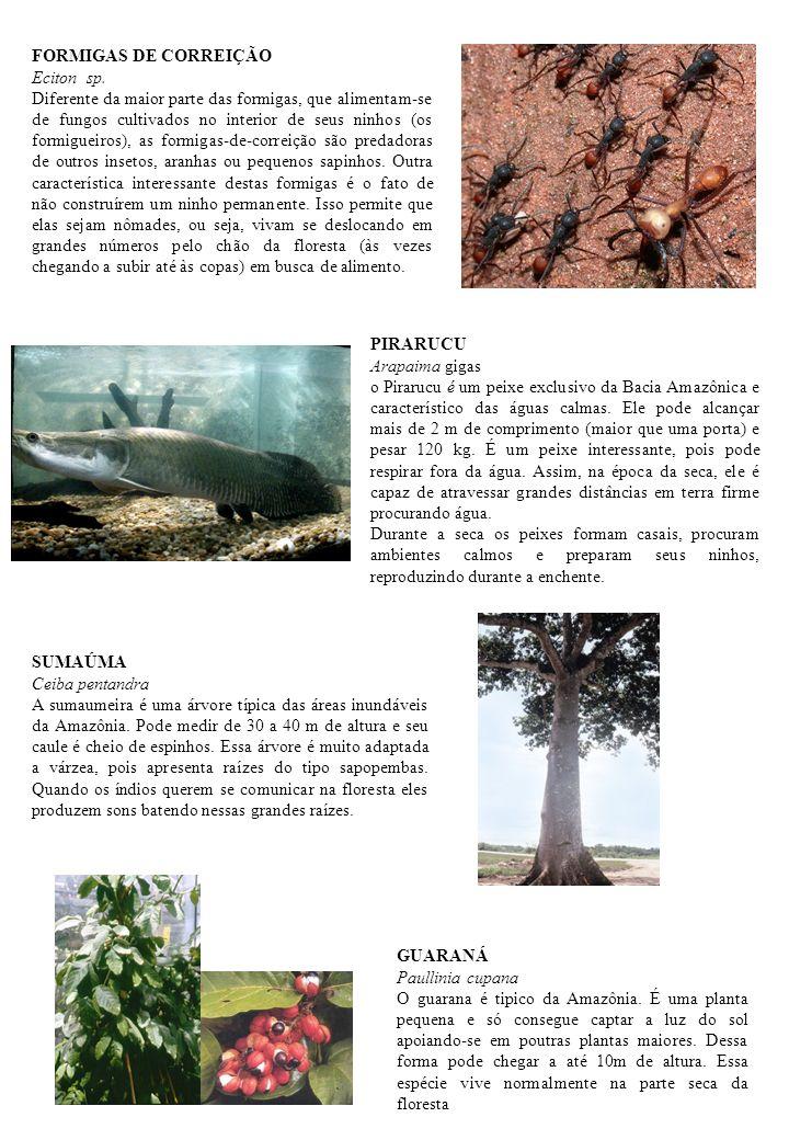 FORMIGAS DE CORREIÇÃO Eciton sp.