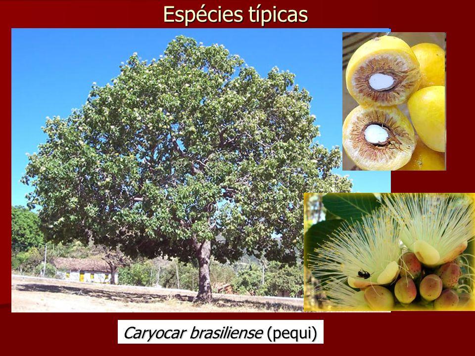 Espécies típicas Caryocar brasiliense (pequi)
