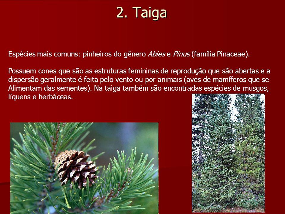 2. Taiga Espécies mais comuns: pinheiros do gênero Abies e Pinus (família Pinaceae).