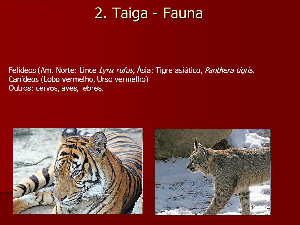 2. Taiga - Fauna Felídeos (Am. Norte: Lince Lynx rufus, Ásia: Tigre asiático, Panthera tigris. Canídeos (Lobo vermelho, Urso vermelho)