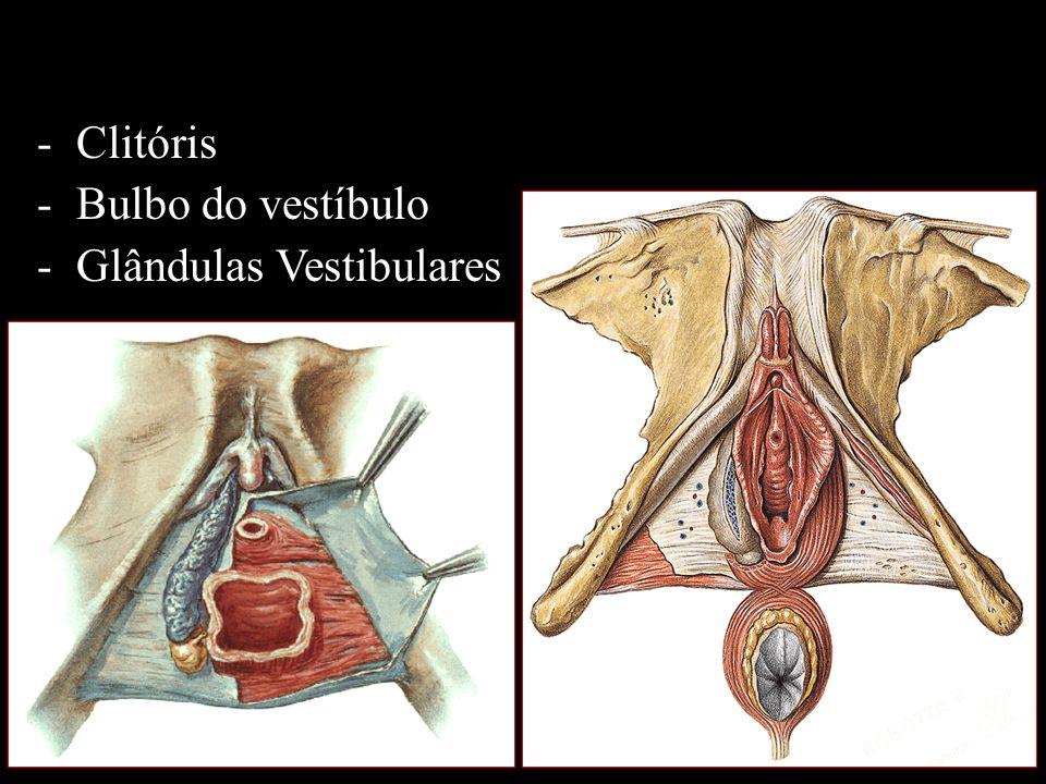Clitóris Bulbo do vestíbulo Glândulas Vestibulares