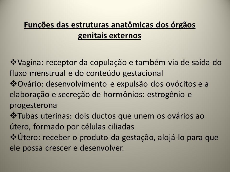 Funções das estruturas anatômicas dos órgãos genitais externos