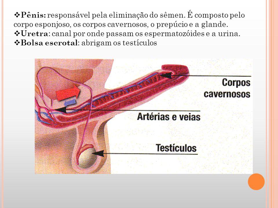 Pênis: responsável pela eliminação do sêmen
