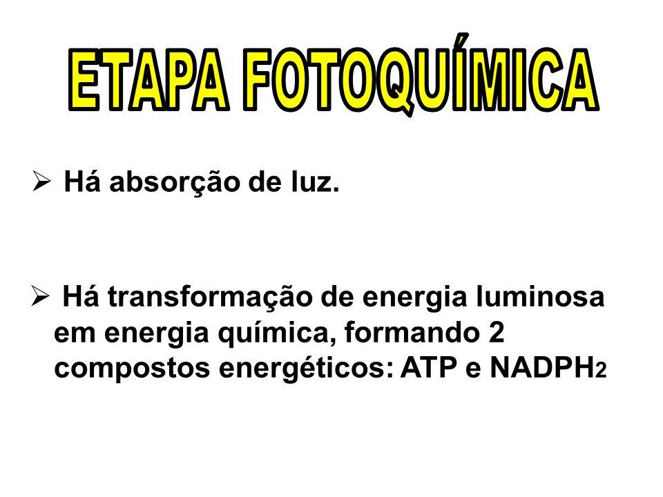 ETAPA FOTOQUÍMICA Há absorção de luz.