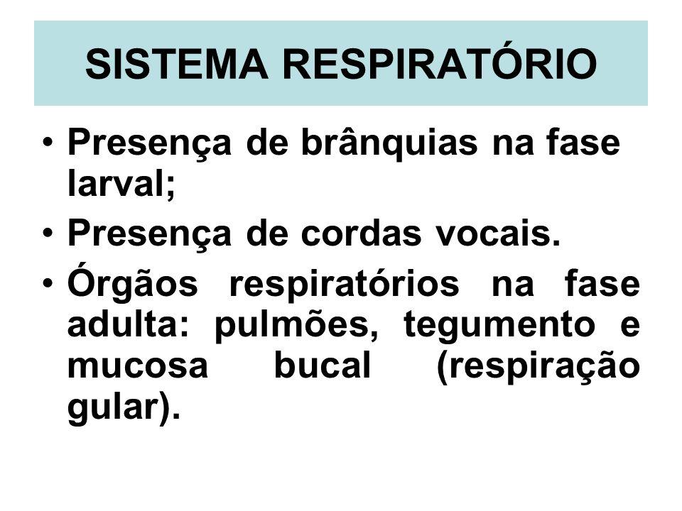 SISTEMA RESPIRATÓRIO Presença de brânquias na fase larval;