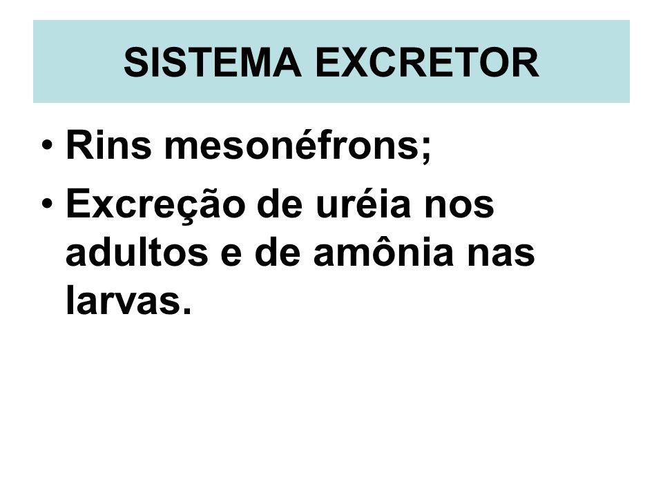 SISTEMA EXCRETOR Rins mesonéfrons; Excreção de uréia nos adultos e de amônia nas larvas.