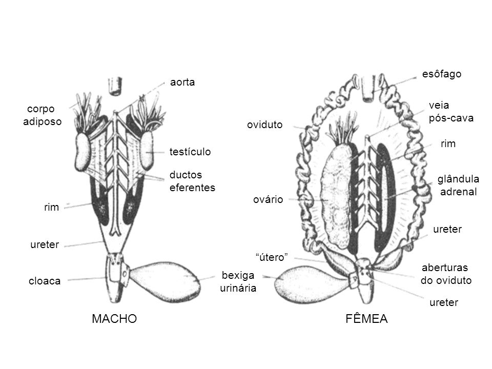 MACHO FÊMEA esôfago aorta veia corpo pós-cava adiposo oviduto