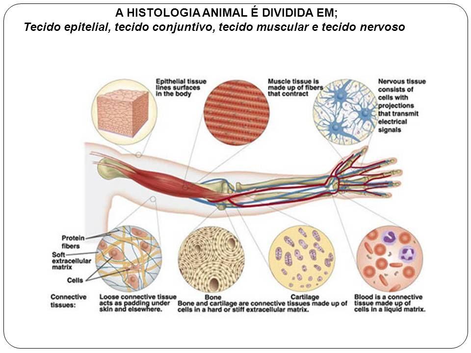A HISTOLOGIA ANIMAL É DIVIDIDA EM;