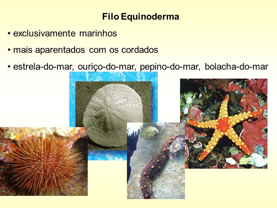 Filo Equinoderma exclusivamente marinhos. mais aparentados com os cordados.