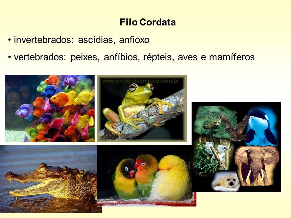 Filo Cordatainvertebrados: ascídias, anfioxo.