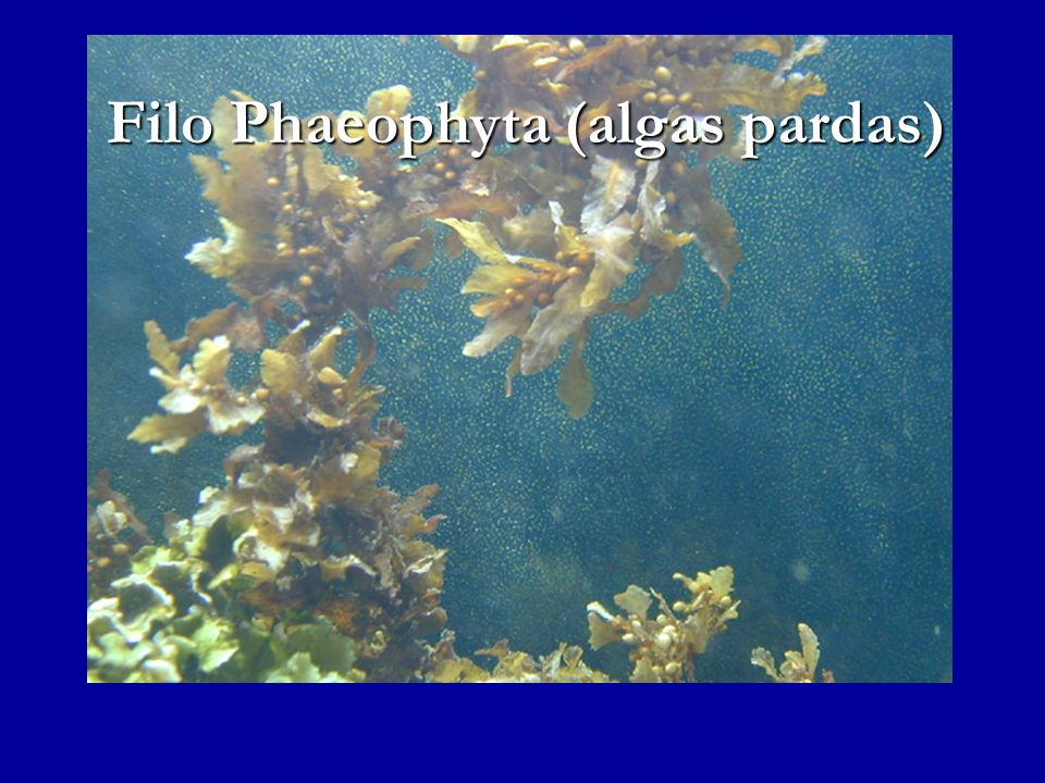 Filo Phaeophyta (algas pardas)