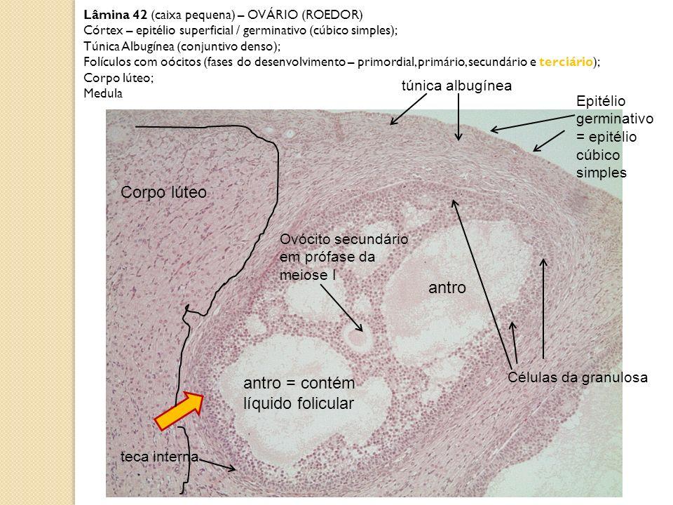 Corpo lúteo antro antro = contém líquido folicular túnica albugínea