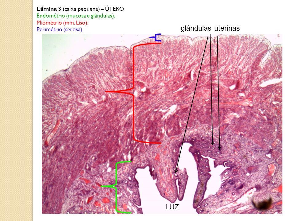 glândulas uterinas LUZ Lâmina 3 (caixa pequena) – ÚTERO