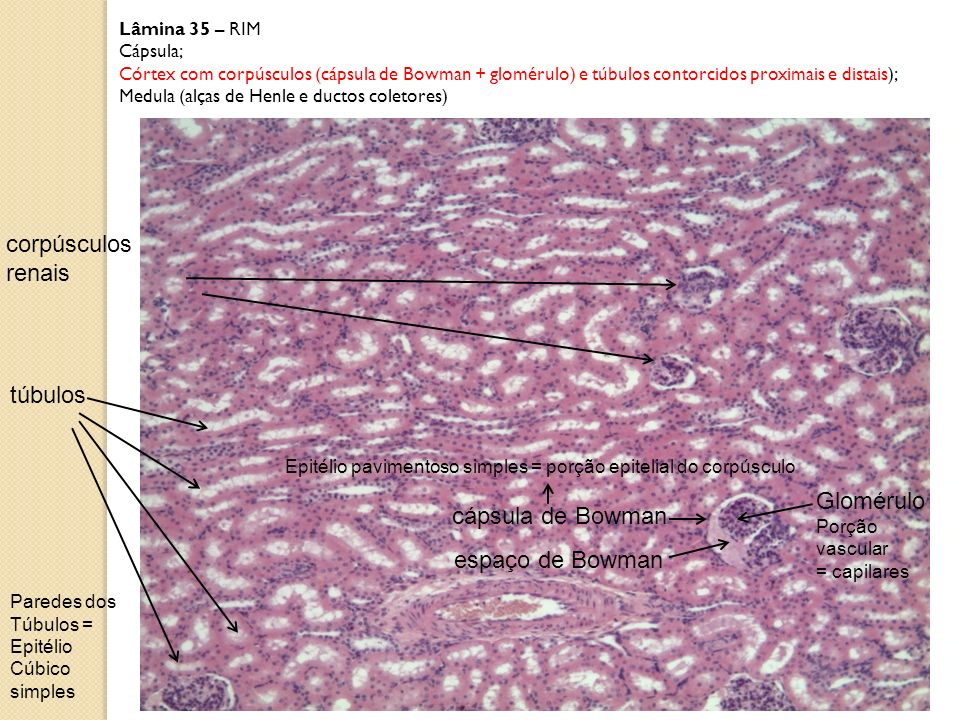 corpúsculos renais túbulos Glomérulo cápsula de Bowman