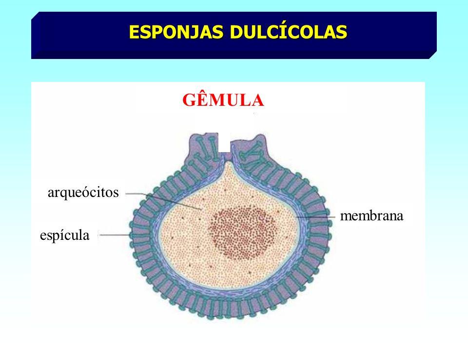 ESPONJAS DULCÍCOLAS GÊMULA arqueócitos membrana espícula