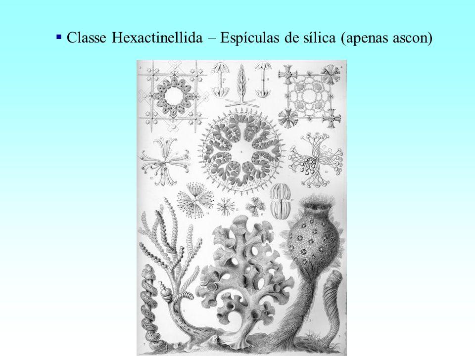 Classe Hexactinellida – Espículas de sílica (apenas ascon)