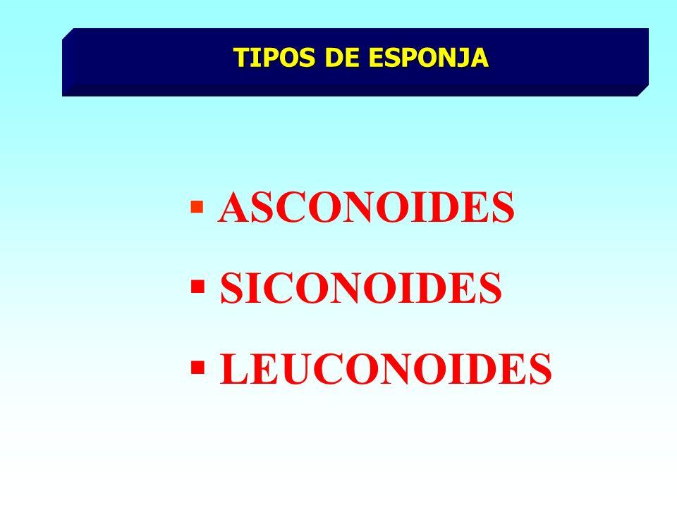 TIPOS DE ESPONJA ASCONOIDES SICONOIDES LEUCONOIDES