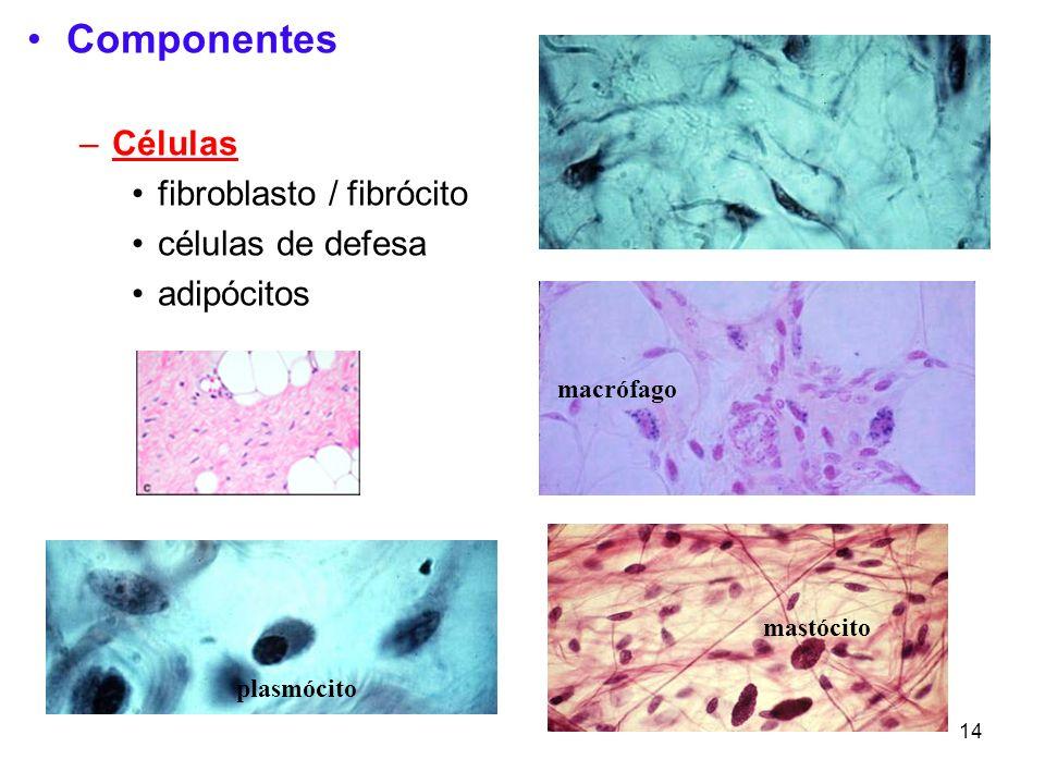 Componentes Células fibroblasto / fibrócito células de defesa