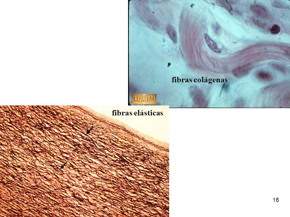 fibras colágenas fibras elásticas
