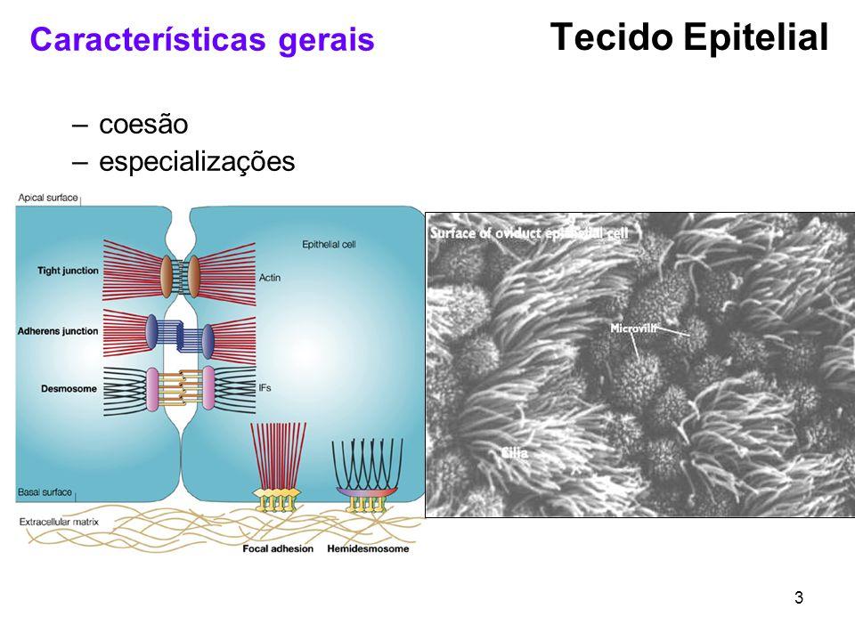 Tecido Epitelial Características gerais coesão especializações