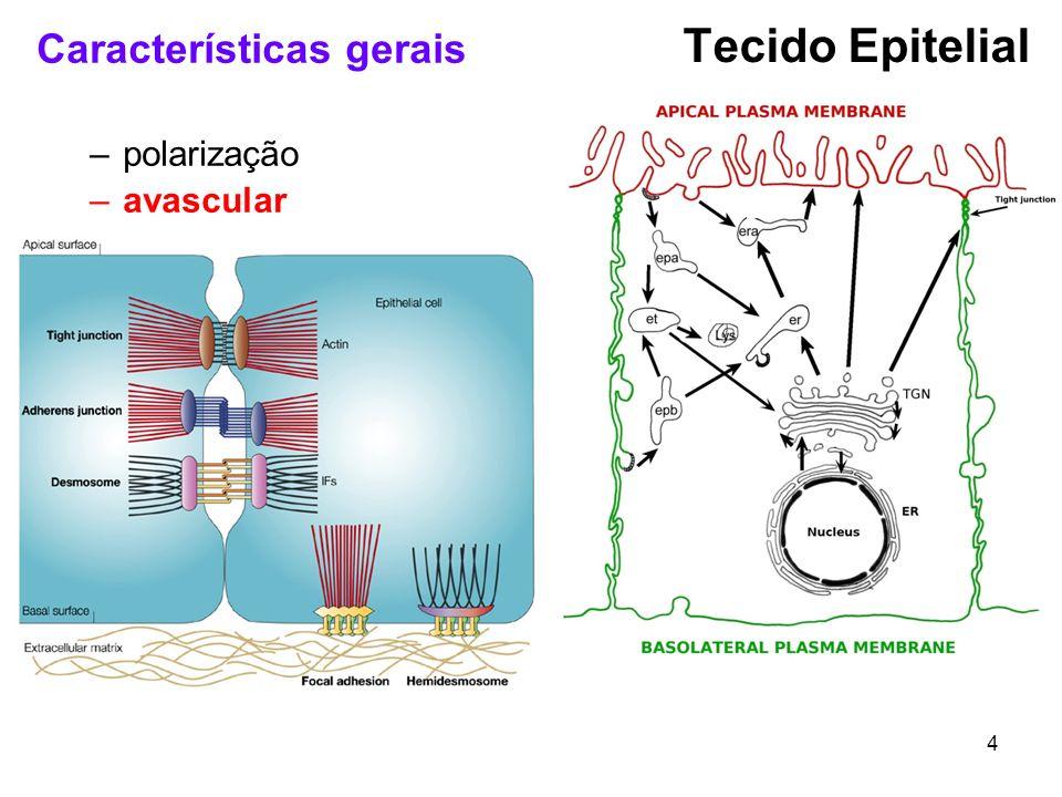 Tecido Epitelial Características gerais polarização avascular