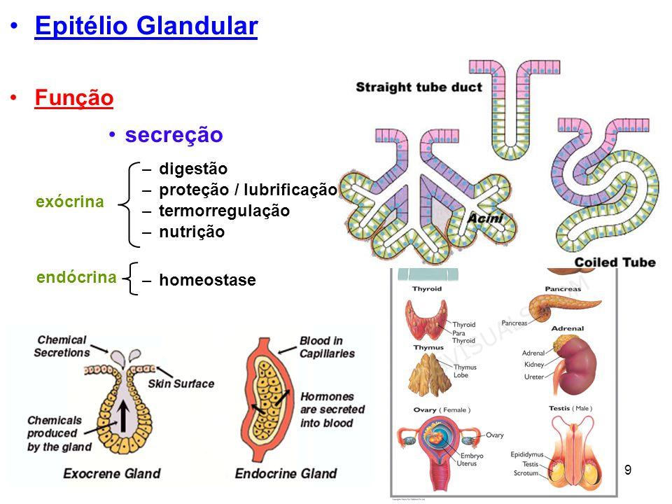 Epitélio Glandular Função secreção digestão proteção / lubrificação
