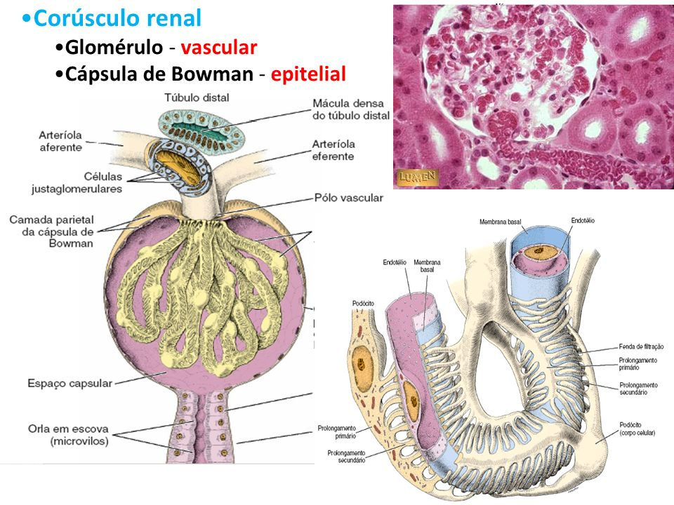 Corúsculo renal Glomérulo - vascular Cápsula de Bowman - epitelial
