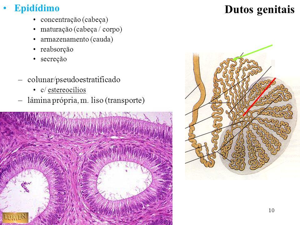Dutos genitais Epidídimo colunar/pseudoestratificado
