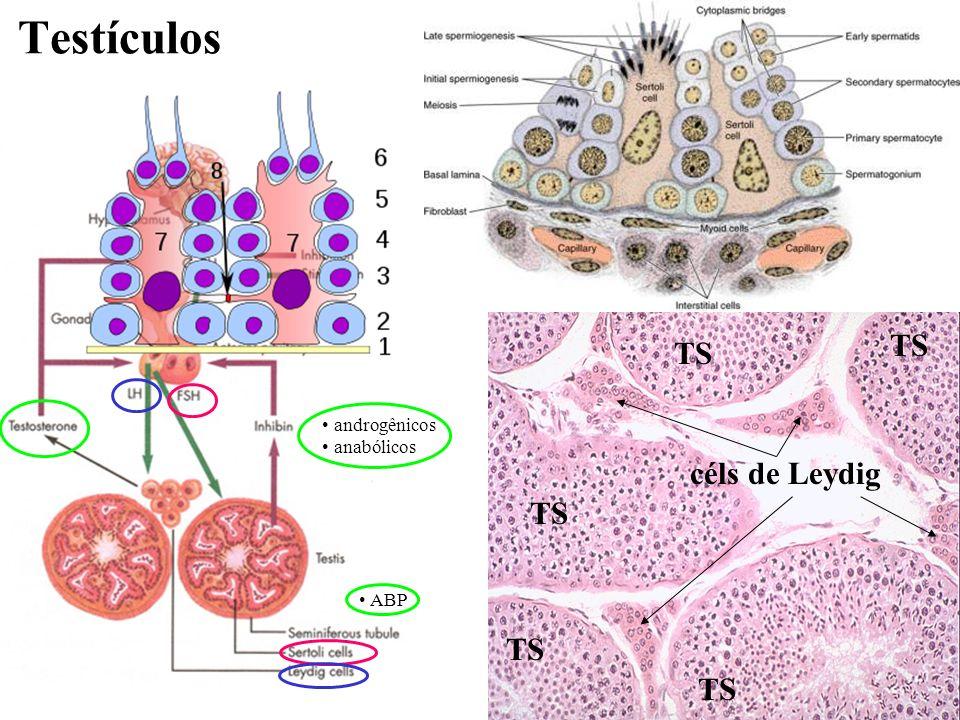 Testículos TS TS androgênicos anabólicos céls de Leydig TS ABP TS TS