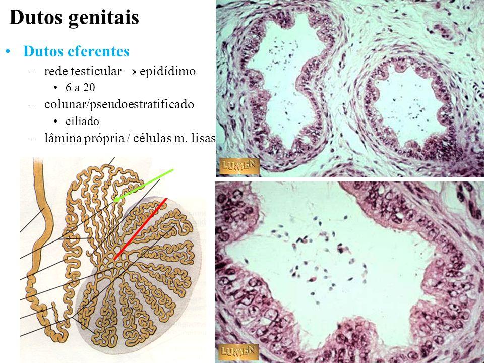 Dutos genitais Dutos eferentes rede testicular  epidídimo