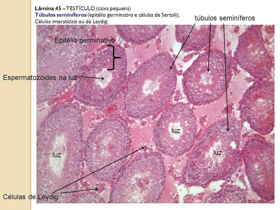 Espermatozóides na luz