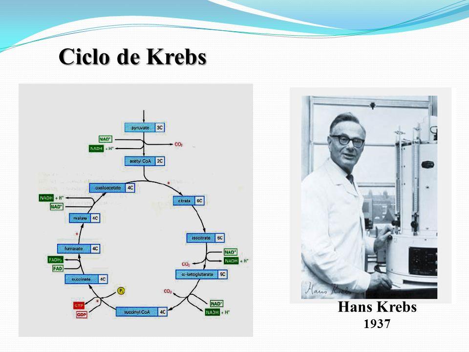 Hans Krebs Ciclo de Krebs 1937